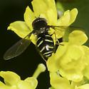 Dasysyrphus - male