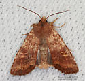 Moth - Lithophane semiusta