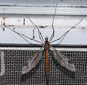 Unknown crane fly - Tipula abdominalis - female