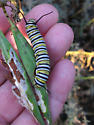 Is this a Monarch caterpillar? - Danaus plexippus