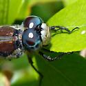 ID for a Florida panhandle dragonfly? - Libellula vibrans