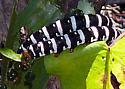 Spanish Moth - Xanthopastis regnatrix