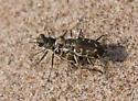 Tiger Beetle - Cicindela hirticollis - male - female