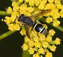 Wasp visiting a flower - Ancistrocerus albophaleratus