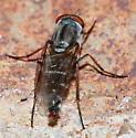 Fly - Ozodiceromyia argentata - male