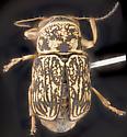 Beetle, dorsal - Pachybrachis obsoletus