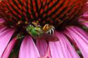 Wasp identification - Agapostemon virescens - female