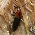 Beetle?? - Languria discoidea