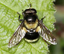 Bumblebee mimic fly - Volucella