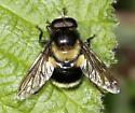 Bumblebee mimic fly - Volucella bombylans-complex