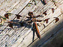 Plathemis lydia - Common Whitetail - Female? - Plathemis lydia - female