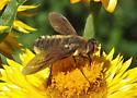Fly ID - Poecilanthrax
