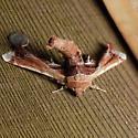 Eutelia pulcherrimus