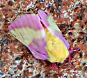 Moth that looks like candy - Dryocampa rubicunda