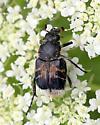 Trichiotinus - Trichiotinus assimilis