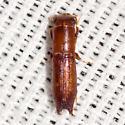 Pinhole Bark Borer Beetle - Euplatypus compositus