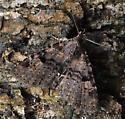 NJ Metalectra quadrisignata - Metalectra quadrisignata