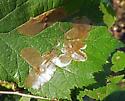 Linear mine on hazelnut [not basswood] - Cameraria corylisella