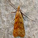 Many-spotted Dichomeris - Dichomeris punctipennella