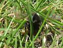 Megachile? Leafcutter bee making nest - Megachile melanophaea - female