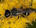 Wasp IMG_3384 - Ectemnius continuus