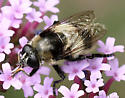 Which Syrphid - Merodon equestris