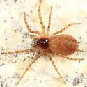 spider - Neoantistea - female