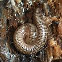 Millipede - which Parajulidae? - Bollmaniulus