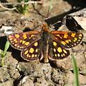 Hesperiidae: Carterocephalus palaemon - Carterocephalus palaemon - male