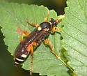 Wasp ID Request - Ichneumon ambulatorius - female