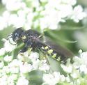 Anacrabro ocellatus  - Anacrabro ocellatus