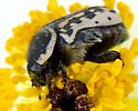 Euphoria kernii - Kern's Flower Scarab - Euphoria kernii