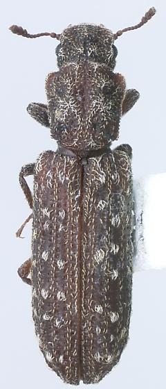 Lasconotus nucleatus Casey - Lasconotus nucleatus