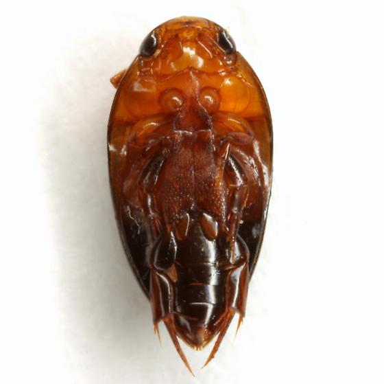 Hydrocanthus atripennis Say - Hydrocanthus atripennis
