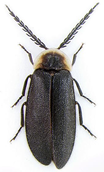 Lampyrid - Pollaclasis bifaria