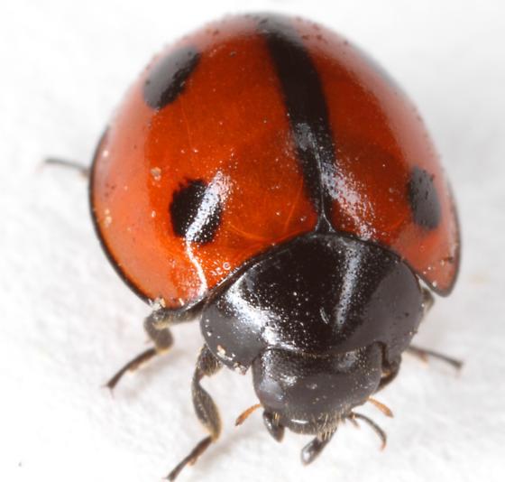 Chilocorinae - Brumoides septentrionis