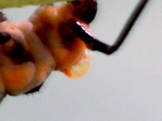 Parasite on Lady Beetle Larva