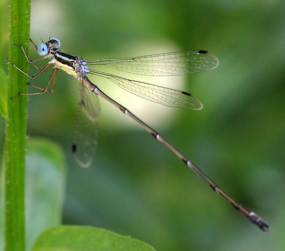 Slender Spreadwing? - Lestes rectangularis - male