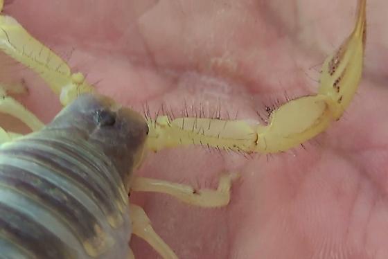 AZ Hairy Scorpion on Hand - Hadrurus arizonensis
