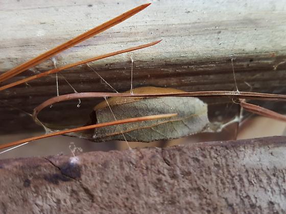 Unknown bug in oak leaf case - Cicinnus melsheimeri