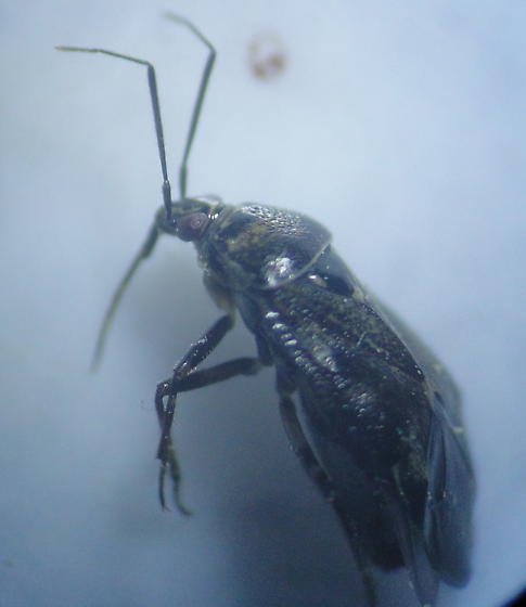 beaked bug