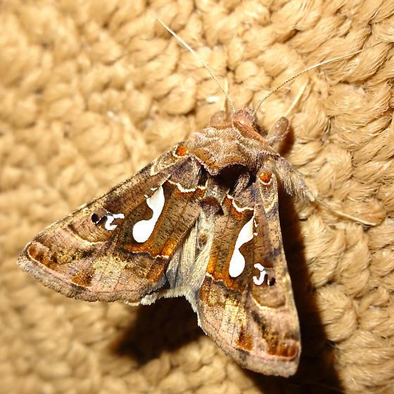 Owlet moth?? - Megalographa biloba