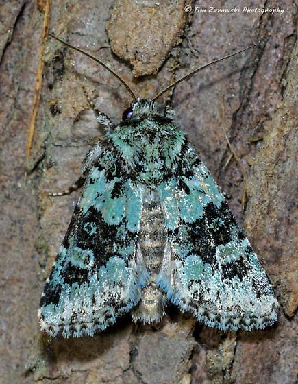 Unknown Moth - Paramiana perissa