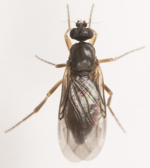 Fly - Gymnophora