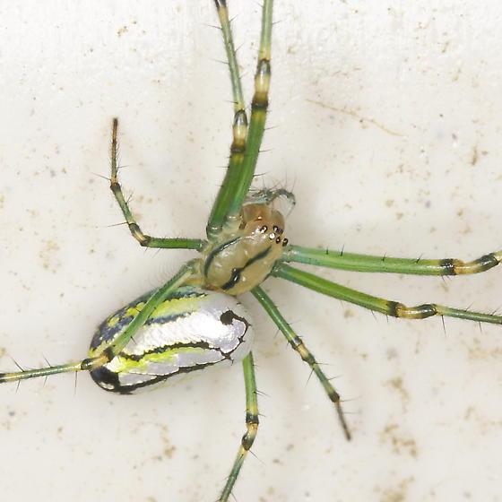 Orchard Spider, Leucauge venusta - Leucauge venusta - female