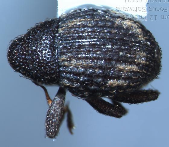 Eurhoptus - Eurhoptus pyriformis