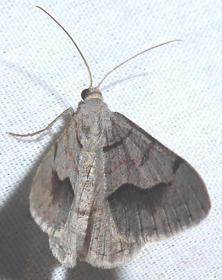 Digrammia yavapai  of D. decorata? - Digrammia yavapai