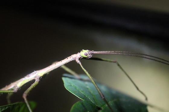 Walking Stick - Haplopus scabricollis - male