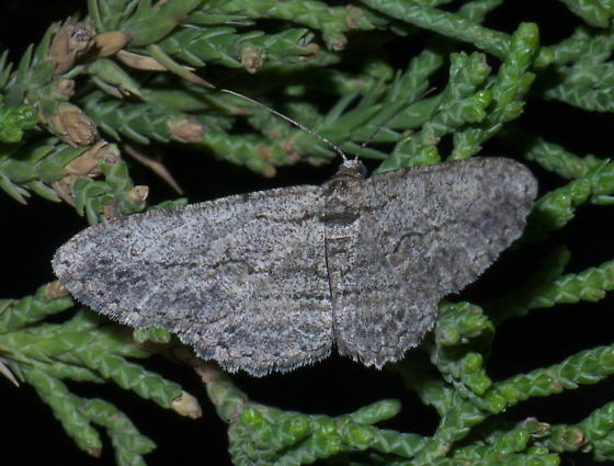 Gray moth with wide wings