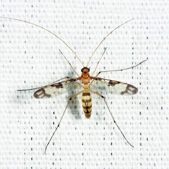 Keroplatid - Macrocera formosa - female